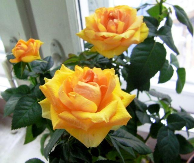 Роза патио в домашних условиях