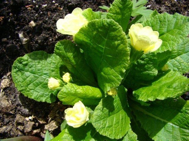 Primula vulgaris Yellow