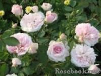 Розы канадские В СДС - Страница 2 Dt-5AS1