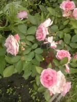 Розы канадские В СДС - Страница 2 Dt-8I80