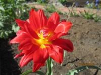 Тюльпаны - Страница 2 Dt-8QLB