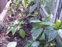 Лук, чеснок - выбираем, выращиваем - Страница 2 Dt-9PH5