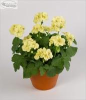 Заказ пеларгоний и гортензии крупнолистной, 5 сортов хризантемы мультифлоры( до заказ) - Страница 2 Dt-C11Y