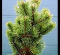 Заказ голубых елок и сосна горная дешево Dt-D4YA