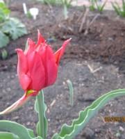 Тюльпаны - Страница 2 Dt-GHAC