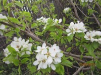 Расцветали яблони и груши... Dt-II9Y