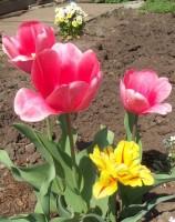 Тюльпаны - Страница 2 Dt-JIKY