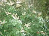 Дерево  семейства  бобовых Dt-LIKA