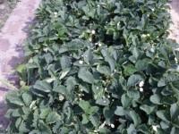 Лук, чеснок - выбираем, выращиваем - Страница 2 Dt-OF5M