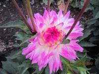 Георгины в цвету - Страница 4 Dt-PM4X