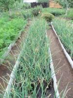 Лук, чеснок - выбираем, выращиваем - Страница 3 Dt-SVEG
