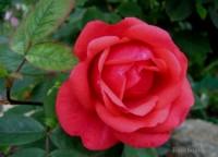 Розы канадские В СДС - Страница 2 Dt-UU2V