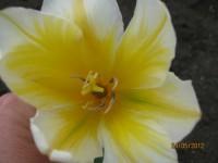 Тюльпаны Dt-WOUL