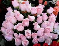 море роз