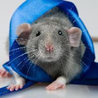 7fbc1efd99719f437b5770c042006cb1 голубая крыса