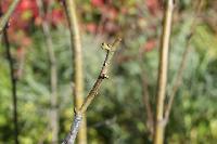 прививка боярышника на ветку рябины