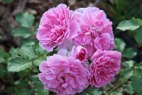 Uetersens Rosenprinzessin ®