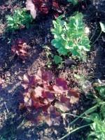 гейхеры из семян