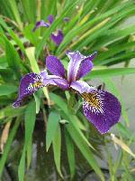 Iris pseudoacorus  Holden Child   1