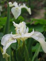 ирис болотный ф  белоцветковая
